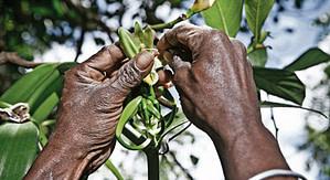 La méthode de pollinisation de la vanille de Madagascar : les différences avec la méthode standard
